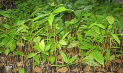 Mehagani plant 20/p for sale