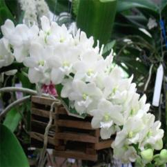 Dendrobium orchid online purchase