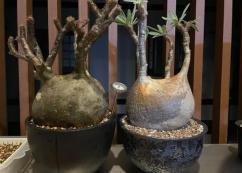 Healthy Pachypodium gracilius