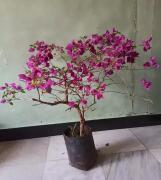 Boganvilla plant full of flowers