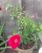 rose plant in different colors