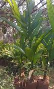 Arecanut plants