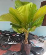 Fan healthy Palm plant