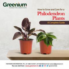 Philodedron plant