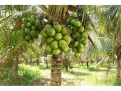 Tender Coconut Wholesale Supplier Maddur Karnataka
