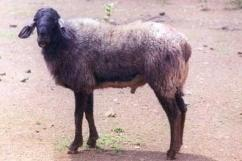 Male Sheep for Sale (RAM)