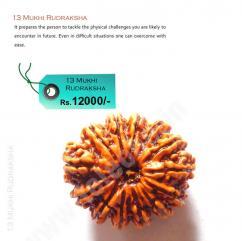 Original 13 Mukhi Rudraksha, 13 Mukhi Rudraksha Beads, Thirteen Mukhi Rudraksha