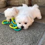 Two maltese puppies ready for their new home