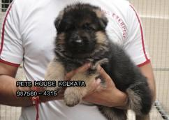 Show Quality Kci Registered GERMAN SHEPHERD  dogs Available