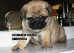 PUG Dogs Ready to Immediate sale Affordable Price  AT KOLKATA DOG HOUSE