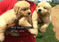 K.C.I Registered GOLDEN RETRIEVER DOGS READY TO SALE At imphal