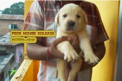 LABRADOR Dogs waiting for sale - KOLKATA
