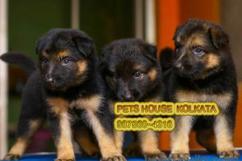 Home breed Guard Purpose GERMAN SHEPHERD  Dogs for sale At SILIGURI