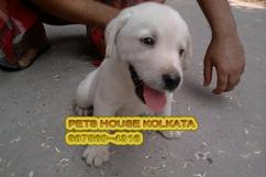 Attractive LABRADOR Dogs for sale - KOLKATA