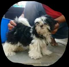Shih tuz male puppy for sale