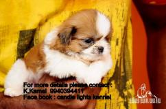 shih tzu puppies for sales in chennai