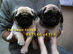 Show Quality pug Dogs for sale at GURGOAN  BPET HOUSE KOLKATA