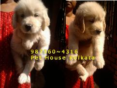 Massive GOLDEN RETRIEVER Dogs for sale at  PETS HOUSE KOLKATA