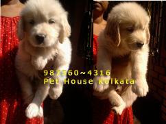 GOLDEN RETRIEVER Dogs Show quality At PET HOUSE KOLKATA