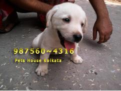 KCI Registered Massive LABRADOR Dogs for sale at IMPHAL
