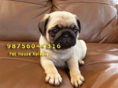 Imported  Pedigree PUG Dogs available at DIMAPUR