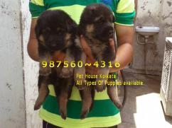 PETS HOUSE KOLKATA  Offers  topest GERMAN SHEPHERD Dogs For sale at DINRUGARH
