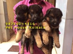 Show quality GERMAN SHEPHERD Dogs for sale at GUWAHATI