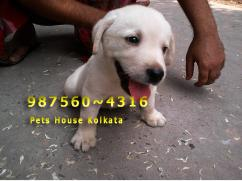 Cute Little Show quality LABRADOR  Puppies for sale at JORHAT