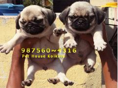 Show Quality Kci Registered Original PUG Dogs for sale at JORHAT