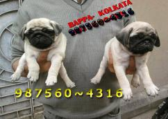 Imported Quality PUG  PUPPIES  For sale At  PETS HOUSE KOLKATA