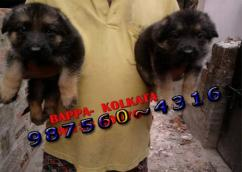 Champion Quality GERMAN SHEPHERD Puppies  Dogs For sale At KOLKATA