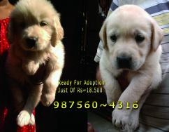 Show Quality LABRADOR Puppies for sale At  PETS HOUSE KOLKATA