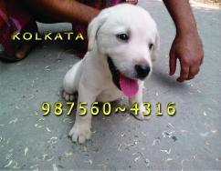 Top  Little Massive LABRADOR Dogs  Puppies For sale  JAMSHEDPUR