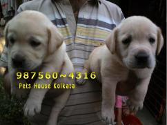 Show Quality LABRADOR Dogs Puppies for sale At BARRACKPORE