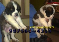 Imported  Quality SAINT BERNARD Dogs Puppies available  for sale At AIZAWL