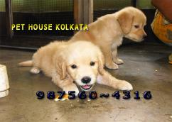 Champion Quality GOLDEN RETRIEVER Puppies for sale At AIZAWL