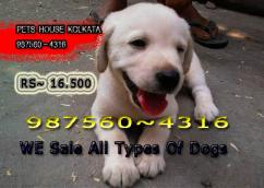 Show Quality LABRADOR Dogs Available For Sale At  KOLKATA