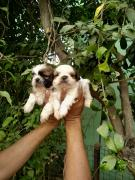 Shihtuz female puppies for sale