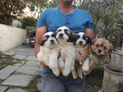 Lhasa Apso male and female puppy r available