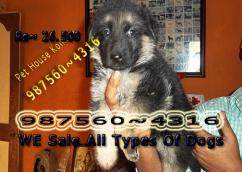 Show Quality GERMAN SHEPHERD Dogs Sale At IMPHAL