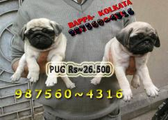 Show Quality Vodafone PUG Dogs Sale At  IMPHAL