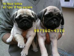 Show Quality Vodafone PUG Dogs Available At  GANGTOK
