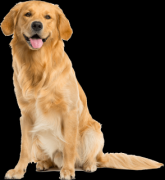 Golden Retriever Puppies In Chennai