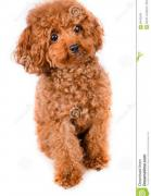 Show quality poodle puppies available in Delhi