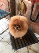 Toy Pom Male and female puppies available in mumbsiy