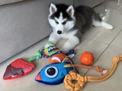 Cute husky puppies for rehomming