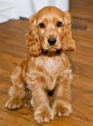 Sreeganesh farm offers Best quality Cocker Spaniel puppies