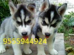 Siberian Husky puppy for sale in Delhi