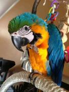 macaw babies for sale
