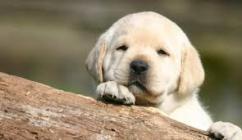 Champion lineup Labrador Retriever puppies at sreeganesh farm